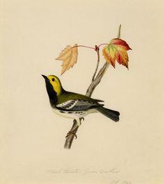 Black throated green warbler | Flickr - Photo Sharing!