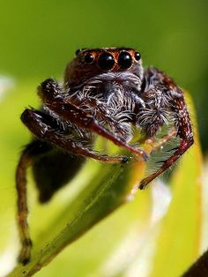 Spider I know that they are insect but I'm pining them in reptiles anyway