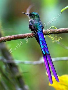 Cometa colivioleta (Aglaiocercus coelestis)  Se encuentra en Colombia y Ecuador. Vive en el nivel inferior del interior del bosque húmedo o de los bordes del bosque, entre la vertiente oriental de los Andes y el Pacífico, desde 300 hasta 2.100 m de altitud, más comúnmente hacia los 900 msnm.