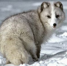 The arctic fox is a hardy (though very small) animal that can be found in Alaska and Canada.. - Cute animals world
