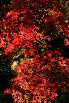 autumn leaves Jyonangu shrine in Kyoto,Japan