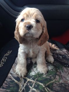 Buff blue eyed cocker spaniel