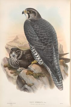 Falco gyrfalco. Norwegian Falcon, adult and young. From New York Public Library Digital Collections.