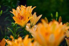 #lily  #flower #flowers #ig_flowers #superb_flowers #FlowerStalking #wp_flower #ユリ #百合be