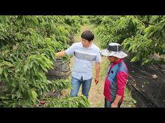 화정묘목농원의 차별화된 체리농업교육(서산아라메체리농장) - YouTube
