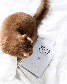 Britishshorthair Cat Loulou - LITTLE EMMA by Tamara (@little.emma - www.little-emma.de) ODERNICHTODERDOCH Kalender 2017