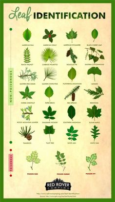Whether you're a curious hiker or nervous camper leaf identification is a useful skill to have. Learn how to identify different types of non-poisonous and poisonous leaves like poison sumac sugar maple poison oak gingko and poison ivy. Wilderness Survival, Camping Survival, Outdoor Survival, Survival Skills, Camping Hacks, Outdoor Camping, Survival Prepping, Survival Gear, Bushcraft Camping