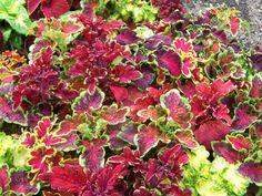 Colorful Coleus at Hamilton Farms in Boonton Twp, NJ