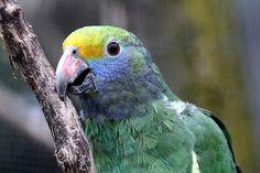Blue-cheeked Amazon (Amazona dufresniana)