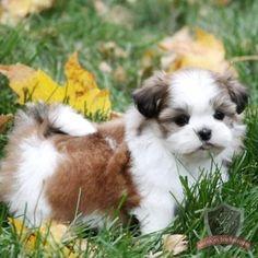 Shih Tzu puppy - Selena