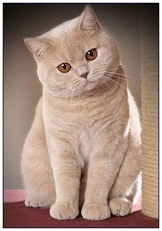 British shorthair cat, cream colour - adorable!