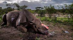 Vítězný snímek Brenta Stirtona zachycuje nosorožce zabitého pytláky. Další oceněné fotografie si můžete prohlédnout v galerii.