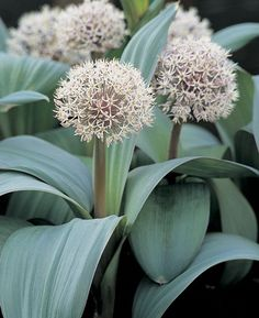 Cream to pale pink star shaped flowers on short stems, Allium Karataviense leaves are broad greyish-blue with a fine red edge, perfect for the front of the border or containers, flower size around 6 cm.  Royal Horticultural Society Award of Garden Merit. Bulb size 14/  cm