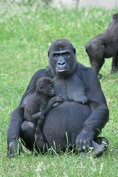 Western Lowland Gorilla & Young