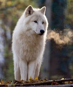 WOLVES, Arctic wolf (Canis lupus arctos) by Thomas Krüger Arktischer Wolf, Wolf Husky, Wolf Howling, Beautiful Wolves, Beautiful Dogs, Wolf Goddess, Of Wolf And Man, Wolf Life, Arctic Wolf
