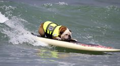 Of Course You Want to Look at Pictures from a Dog Surfing Competition. Who Are You Kidding?