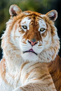 Golden Tiger - with a color variation caused by a recessive gene. The coloration is a result of captive breeding and does not occur in the wild. Like the white tiger, it is a color form and not a separate species. Majestic Animals, Rare Animals, Animals And Pets, Beautiful Cats, Animals Beautiful, Beautiful Creatures, Big Cats, Cats And Kittens, Gato Grande