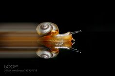 Turbo Snail by heriwardana. @go4fotos