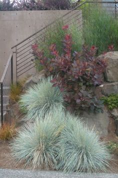Royal Purple Smoke Bush and Blue Oat Grass in the landscape Modern Landscaping, Front Yard Landscaping, Landscaping Ideas, Landscape Design, Garden Design, Contemporary Landscape, Contemporary Homes, Plant Design, Landscape Architecture