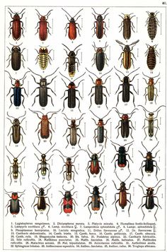 """G.G. Yakobson (1905-1915) - """"Beetles of Russia"""": table 40"""