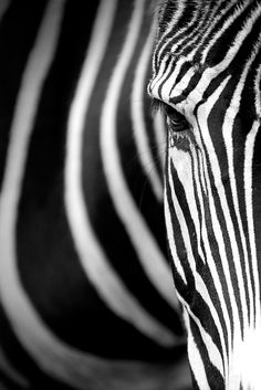 Zebra - one of the most beautiful animals in my mind