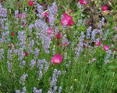 lavender in garden - Google Search