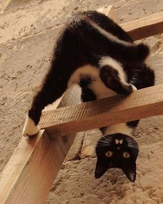 Sometimes life feels like it is a bit upside down. Do you ever feel like this? Photographer: Ramsey Pui Tuxedo Cat by Ramsey Pui on Funny Cats, Funny Animals, Cute Animals, Crazy Cat Lady, Crazy Cats, I Love Cats, Cool Cats, Beautiful Cats, Animals Beautiful