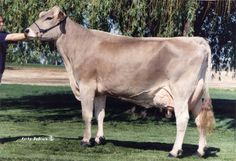 brown swiss show cattle - Google Search