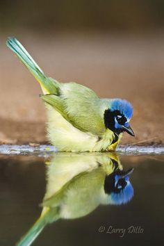 fairy-wren:    green jay