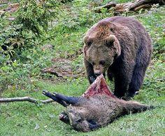 Sotva prišiel na lúku, spod smreka vystúpil medveď | Poľovníctvo a rybárstvo