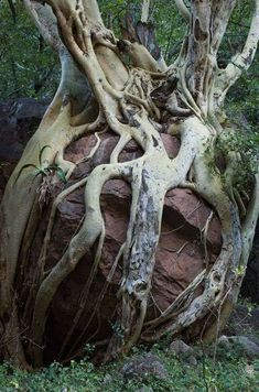 A venerable fig tree wrapping its roots lovingly around a boulder. A venerable fig tree wrapping its All Nature, Nature Tree, Amazing Nature, Cactus E Suculentas, Weird Trees, Unique Trees, Old Trees, Tree Trunks, Tree Roots
