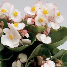 Begônia Semperflorens Singela Sortida: 100 Sementes