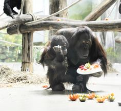 Nyíregyháza-Sóstó Zoo, Ruti (Bornean Orangutan) had become 2 year old (15th March) with yoghurt cake and fruits. Photo: Balázs Attila / MTI