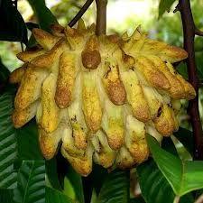Lemon Meringue Fruit ( Rollinia deliciosa )