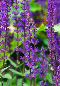 Buy Balkan clary Salvia nemorosa Caradonna - Slender spires of dazzling blooms: pot: Delivery by Crocus Garden Plants, Indoor Plants, House Plants, Flowering Plants, Salvia, Plant Design, Garden Design, Edible Garden, Back Gardens