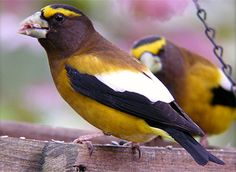 Evening Grosbeak Adult male In most of U., most frequently seen in winter Large-headed finch with massive bill Males are mostly yellow with yellow eyebrow stripe Males have black wings with large white patch in secondaries Birds In The Sky, All Birds, Love Birds, Beautiful Birds, List Of Birds, Downy Woodpecker, John James Audubon, Black Wings