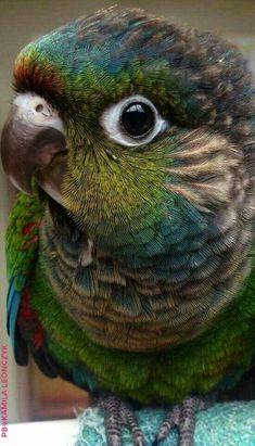 The green-cheeked conure or green-cheeked parakeet (Pyrrhura molinae) is a small parrot of the genus Pyrrhura, which is part of a long-tailed group of the New World parrot subfamily Arinae. This type of parrot is generally called a conure in aviculture. It is native to the forests of South America. The green-cheeked parakeet is typically 26 cm (10 in) long and weighs 60 to 80 g.