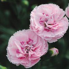 Best Fragrant Perennials – Northeast - Candy Floss™ dianthus