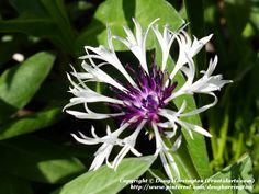 This perennial was new to my garden last year, already starting to bloom first of May. Mountain bluet (Centaurea montana) 'Amethyst in Snow'