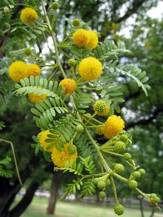 Check Out These Acacia Trees and Shrubs From Around the World: Espinillo Yellow Plants, Yellow Flowers, Pretty Flowers, Trees And Shrubs, Flowering Trees, Trees To Plant, Acacia, Fast Growing Shrubs, Beautiful Flowers Wallpapers