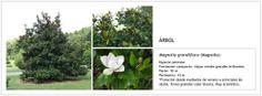 Magnolia grandiflora (Magnolio)