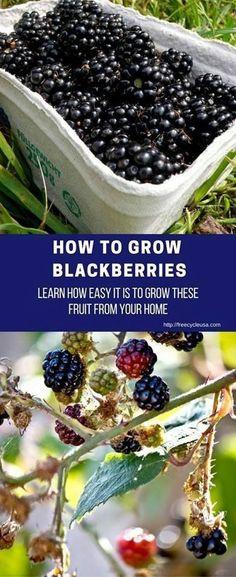 Container Gardening For Beginners How to Grow Blackberries Diy Garden, Fruit Garden, Edible Garden, Garden Tips, Summer Garden, Garden Shop, Tropical Garden, Herb Garden, Organic Vegetables