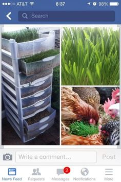 Make a fodder system using cheap plastic bins from Target. Make a fodder system using cheap plastic bins from Target.,House 28 Cheap And Clever DIYs For People Who Raise Chickens Related Weihnachtsdeko Ideen. Backyard Chicken Coops, Diy Chicken Coop, Chickens Backyard, Backyard Farming, Keeping Chickens, Raising Chickens, How To Raise Chickens, Raising Farm Animals, Fodder System