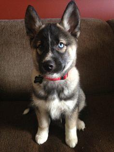 Like the husky/wolf dog this week! White Husky Puppy, Cute Husky, Cute Puppies, Cute Dogs, Dogs And Puppies, Doggies, Haski Dog, Agouti Husky, Animals And Pets