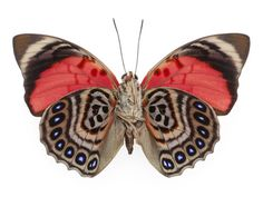 The Common Red Agrias - Underside