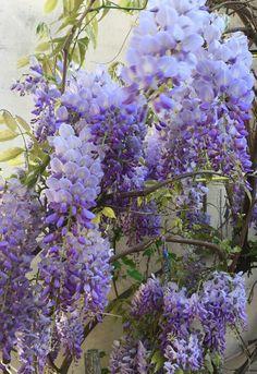Blauregen Wisteria, Flowers, Plants, Photography, Painting, Photograph, Fotografie, Painting Art, Photoshoot