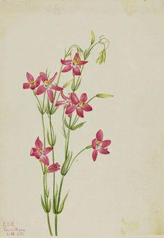 """Pink Centaurium (Centaurium venustum),"" 1925, Mary Vaux Walcott, watercolor on paper, sheet: 10 x 7 in. (25.5 x 17.9 cm), Smithsonian American Art Museum, Gift of the artist, 1970.355.640"