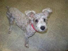 Sparky is an adoptable Schnauzer Dog in San Antonio, TX. Sparky is a shorkie rescued in a neighborhood where he had been wandering starving and filthy for about a month :( Sparky is a sweet boy, LOVES...