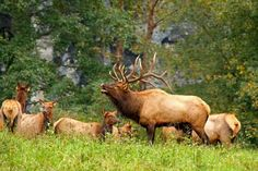 Elk hunting tips - bugling bull with harem . Support women who hunt! www.facebook.com/savagesisters