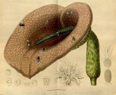 Flore des serres et des jardins de l'Europe, Vol V, Louis Van Houtte, 1849.